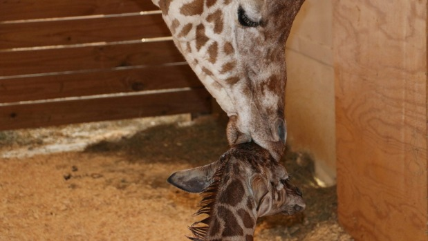1492571861570 - Why we obsessed over a pregnant giraffe and what it means for humanity